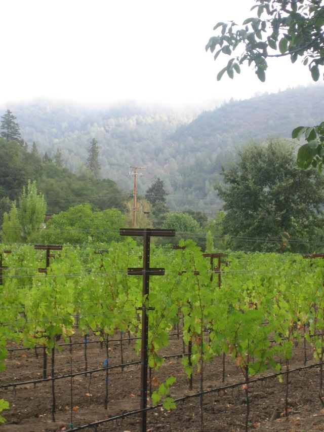 young Vines in Saint Helena