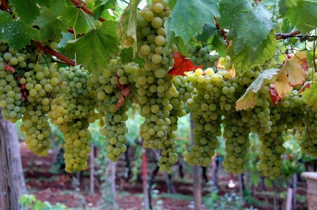 Family vineyards in Genazzano