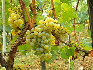 Chardonnay on the Vine
